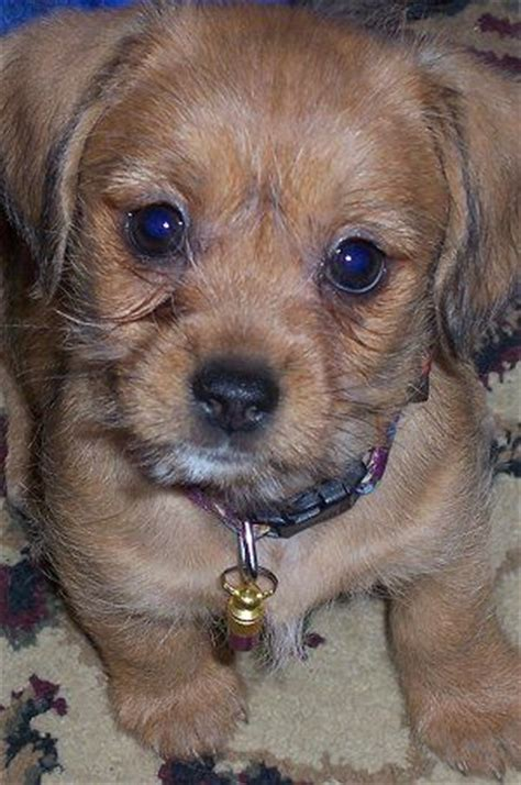 shih tzu dachshund mix for sale 43 best images about puppies on lab puppies yorkie and westie puppies