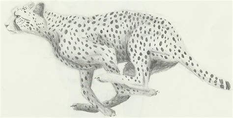 sketchbook cheetah cheetah sketch by aki on deviantart