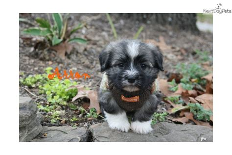 havanese puppies for sale near me havanese puppy for sale near rock arkansas d37b235b 2861
