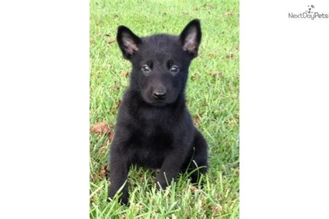 black belgian malinois puppies for sale black german shepherd puppy wallpaper
