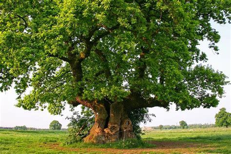 european trees tree to hug on trees bristlecone pine and