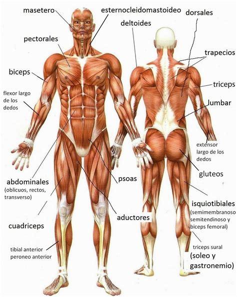 imagenes y nombres de las partes del cuerpo imagenes ethel im 193 genes del cuerpo humano sus nombres sus funciones y sus m 218 sculos