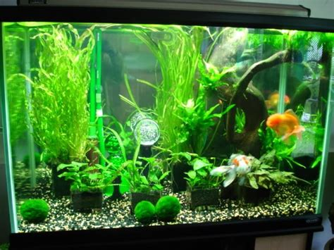 aquascape for goldfish aquascaped goldfish tank orandas koi and fancy