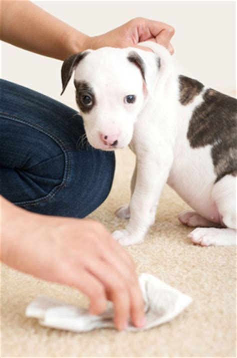 how to break my dog from peeing in the house kojonkoski morin ursprung blog dog stains carpet pet urine is high in