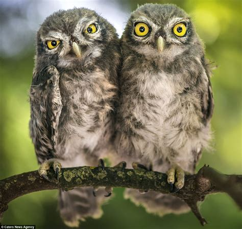 photographer alberto ghizzi panizza captures owl siblings