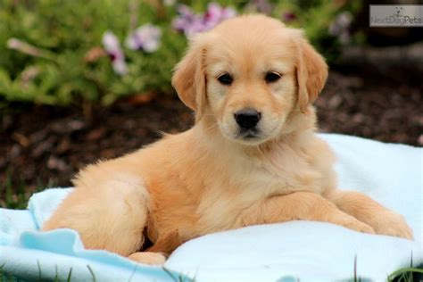 names for golden retriever puppies golden retriever rescues golden retriever puppy names june 11 golden retriever