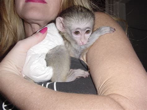 boy and girl capuchin monkeys for sale only to good lovely homes graz austria free