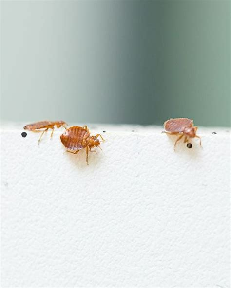 bed bugs pesticide biopesticide could defeat insecticide resistance in bedbugs