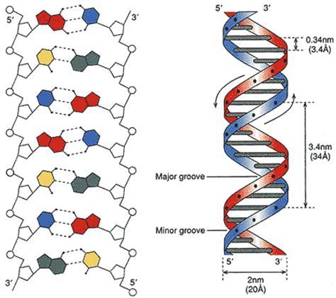 dna molecule diagram dna structure diagram blank www pixshark images