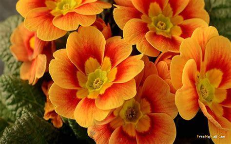 pretty orange pretty orange flowers wallpaper 1440x900 23448