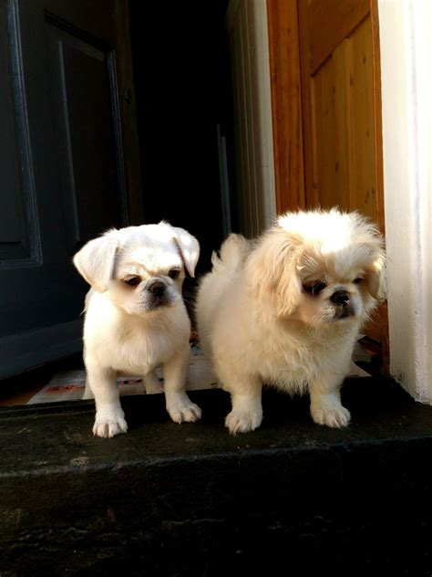 havanese cross pug pug pekingese cross breeds picture