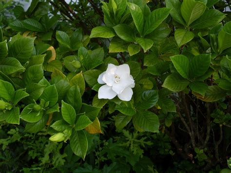 Gardenia Shrub Garden Bud Drop Why Do Gardenia Buds Fall From Plant