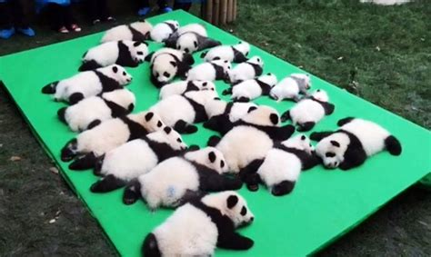 Baby Panda One this clumsy baby panda is the cutest thing you ll see today
