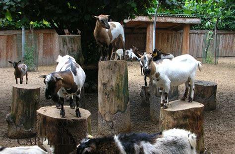 alimentazione tibetana capretta tibetana