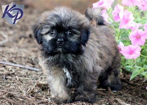 shih tzu pug mix breed miniature siberian samoyed puppies breeds picture