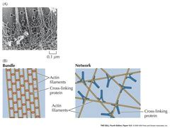 organizational pattern quizlet lecture 46 cytoskeleton i flashcards quizlet