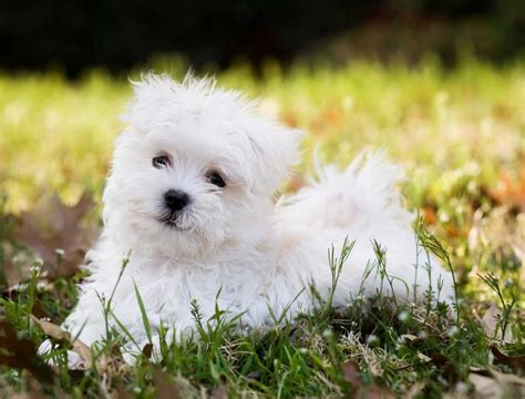 small non shedding breeds small dogs breeds non shedding pet photos gallery 4936zgy3mo