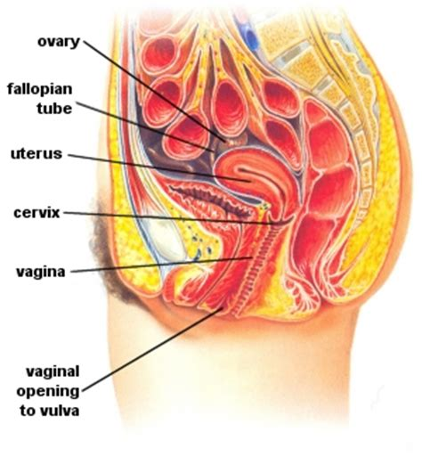 cross section of vagina massagetherapy