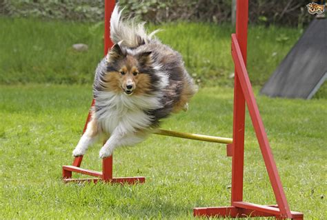 about dogs frequently asked questions about agility pets4homes