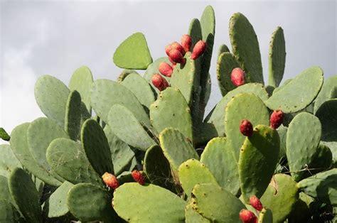 fico d india in vaso fico d india piante da frutto frutto fico