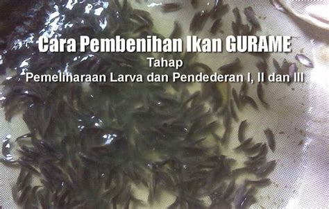 8 tahap pendederan ikan gurame dan pemeliharaan larva ikan
