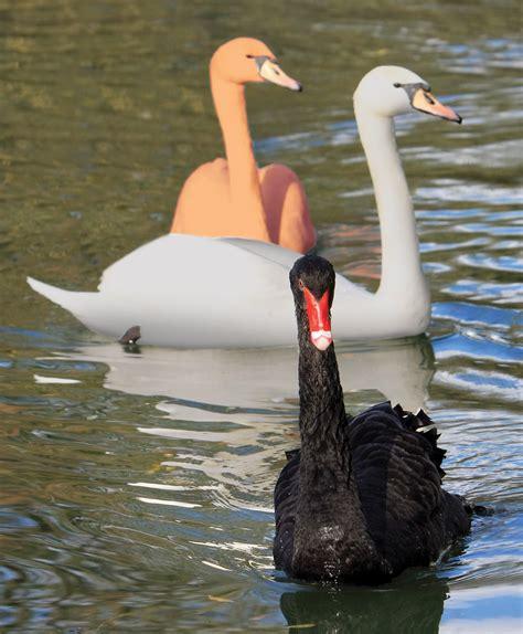 Bros Swan Lapis Green black swans gray swans orange swans