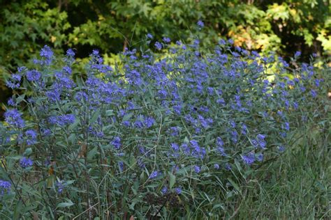 a guide to adding blue flowering plants to your garden - Blue Flowering Shrub