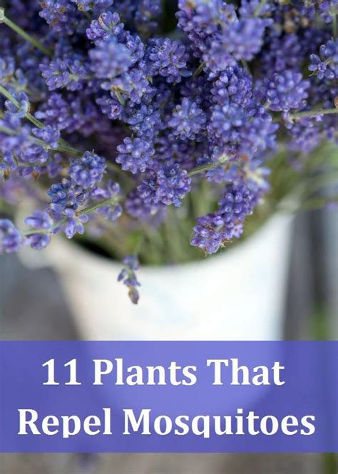 plants that keep mosquitoes away 11 plants that repel mosquitoes