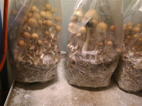 Walk In Closet Pictures growing with bags start to finish mushroom cultivation