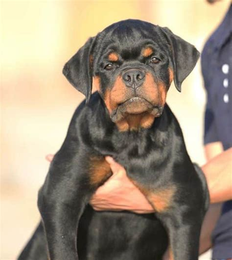 american and german rottweiler is my rottweiler german or american rottweiler
