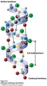 The alpha helix has 3 6 amino acids turn hydrogen bonds which run