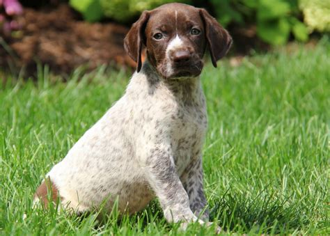 gsp puppies for sale in pa scout german shorthaired pointer puppy for sale in pennsylvania