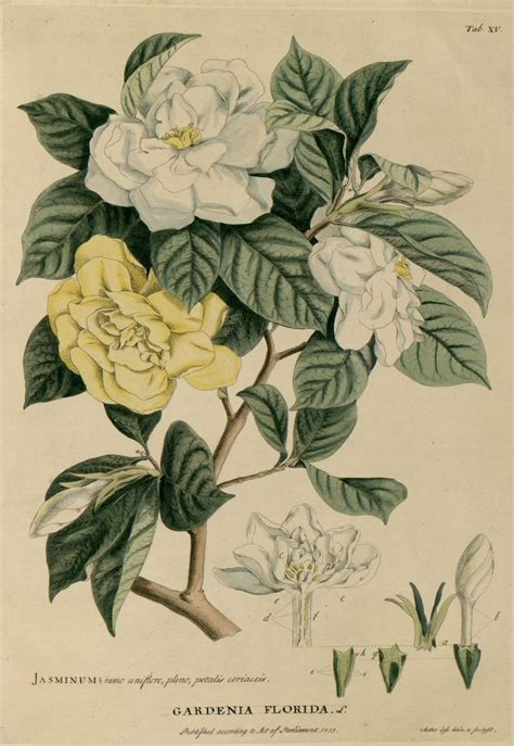 gardenia tattoo designs 47 best gardenia designs images on