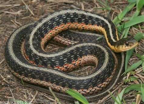 Garter Snake Michigan Eastern Garter Snake Thamnophis Sirtalis Sirtalis May