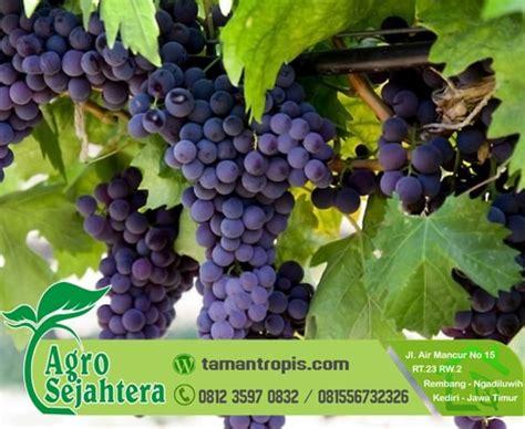Jual Bibit Anggur Laut jual bibit anggur merah hitam