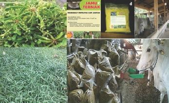 tanaman obat sebagai bahan baku jamu fertilitas sapi