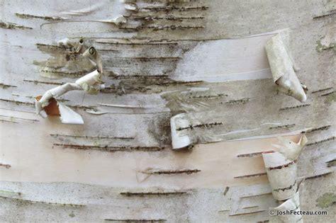 How To Make Birch Bark Paper - winter tree id paper birch josh fecteau