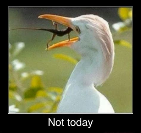 Not Today Meme - funny egret lizard not today meme awesome pinterest