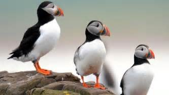 four uk bird species including puffins face extinction