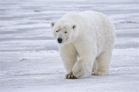 imagenes animales polares animales en peligro de extinci 243 n el oso polar