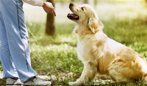 golden retriever puppy exercise golden retriever breed information photos history and care advice