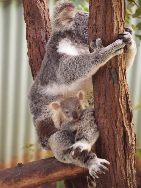 Geos My Baby Pouch Cross koala and baby in pouch australia day