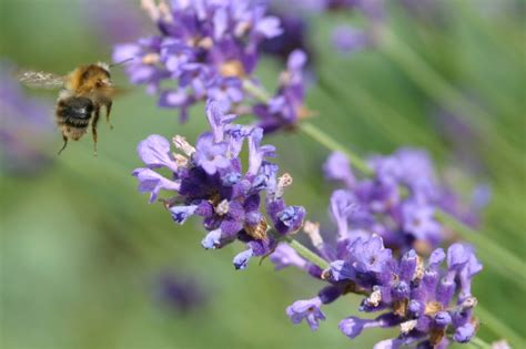 using lavender oil to treat insect bites and stings