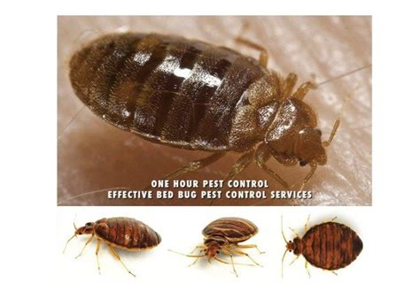 living with bed bugs bed bugs nyc stop living with bed bugs one bedroom
