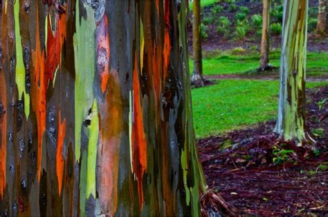 rainbow eucalyptus trees australia natural history
