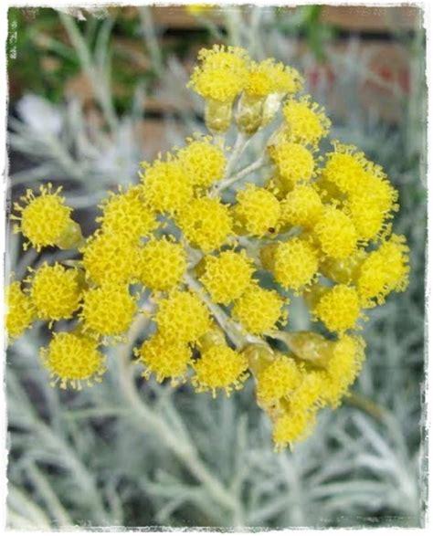elicriso fiori elicriso italico helichrysum italicum vendita piante