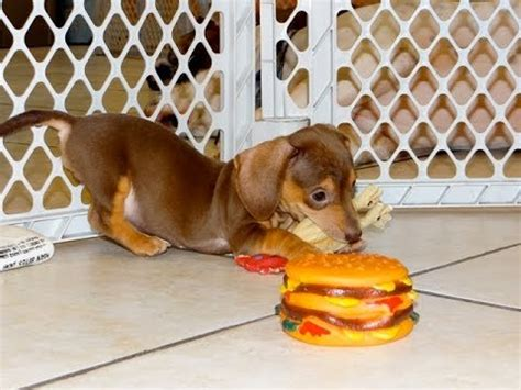 dachshund puppies for sale in birmingham al miniature dachshund puppies dogs for sale in birmingham alabama al 19breeders