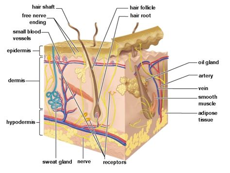 cross section of skin massagetherapy