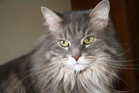 How to Tell If Your Maine Coon is a Mix   MaineCoon.org