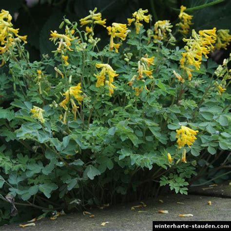 stauden gelb winterhart gelber lerchensporn pseudofumaria corydalis lutea